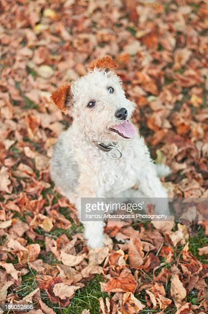 fox terrier dog sitting in the ground - アラバ県 ストックフォトと画像