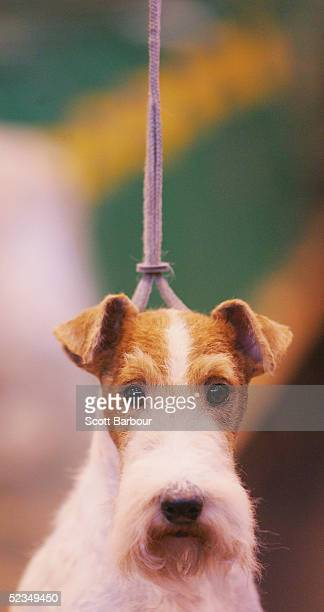 Fox Terrier is tied up as it waits in its allotted bench area before participating in the 102nd Crufts dog show on March 10 2005 in Birmingham...