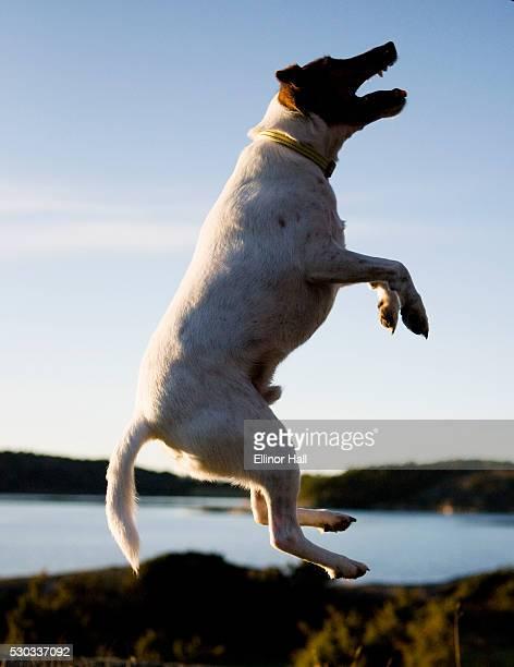 A fox terrier jumping