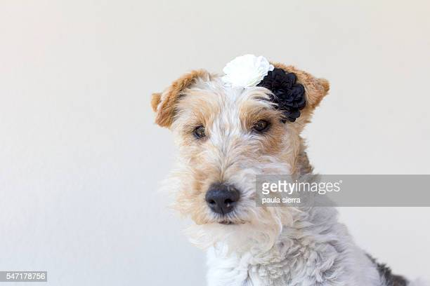 Fox terrier