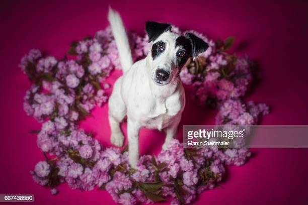 fox terrier posing with cherry blossoms - girdle stock pictures, royalty-free photos & images