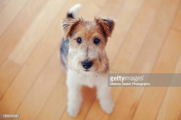 Fox Terrier Stock Pictures Royalty