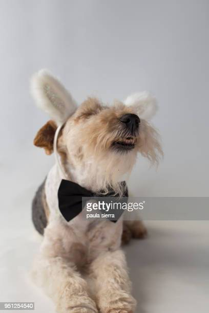 fox terrier wearing a bunny ears headband and a black bow tie - coniglietta foto e immagini stock