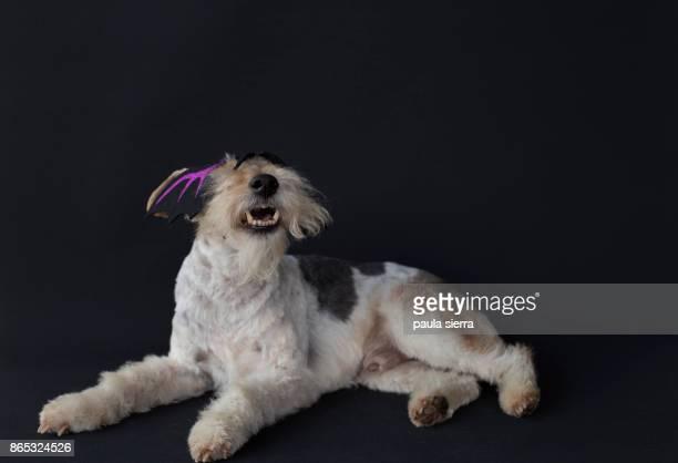 Fox terrier wearing a mask
