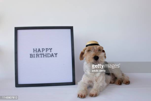 """fox terrier wearing a panama hat and a letter board with """"happy birthday"""" written - capital letter stock pictures, royalty-free photos & images"""