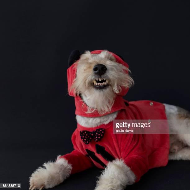 Fox terrier wearing devil costume