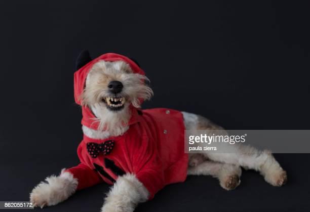 fox terrier wearing devil's costume - disfraz de diablo fotografías e imágenes de stock