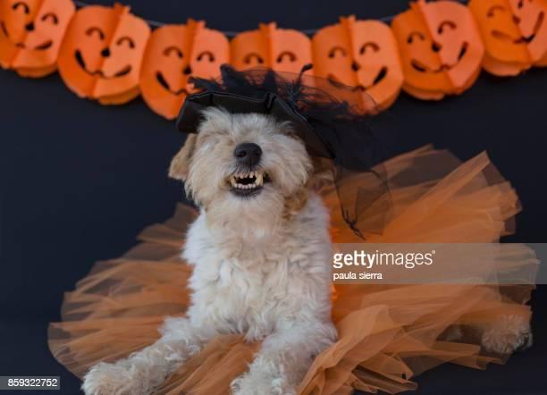 Fox terrier wearing Halloween costume