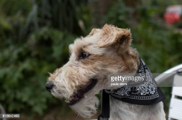 A fox terrier wears a kerchief