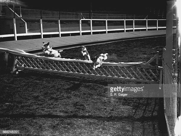 Fox Terriers taking a hurdle in a racing trials event for the breed at Wimbledon Stadium London 28th June 1928