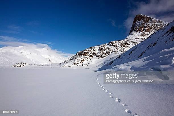 Fox track on Tasersuaq