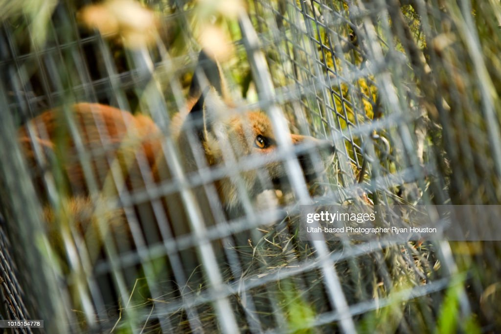 Fox Trapped in a Live Trap : Stock Photo