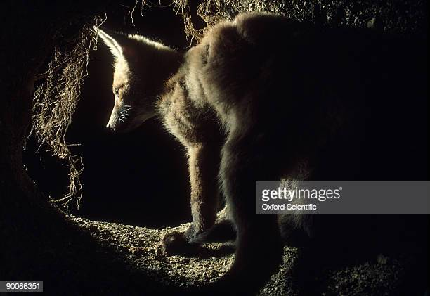 fox: vulpes vulpes  cub at earth entrance  oxon, u.k.