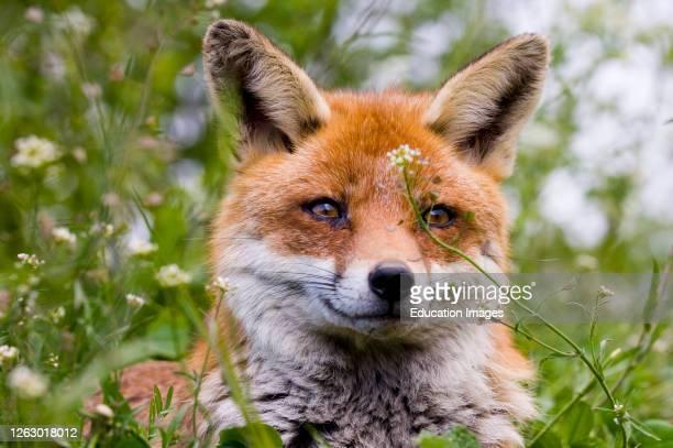 Fox, Vulpes vulpes, resting in orchard, Kent, UK.