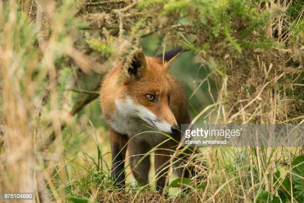 fox (vulpes vulpes) walking in grass, lingfield, surrey, england, uk - fox stock pictures, royalty-free photos & images