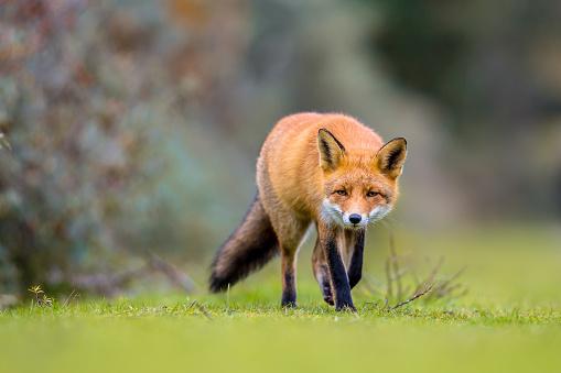 Fox walking on grass 669765668