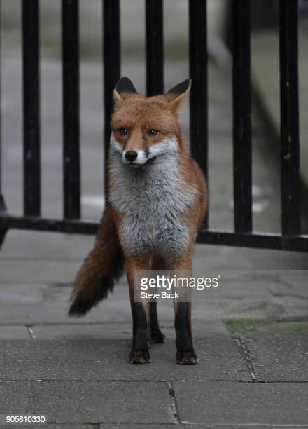 A fox walks into Downing Street as the weekly cabinet meeting goes ahead last week British Prime Minister Theresa May put a stop to a vote on Fox...
