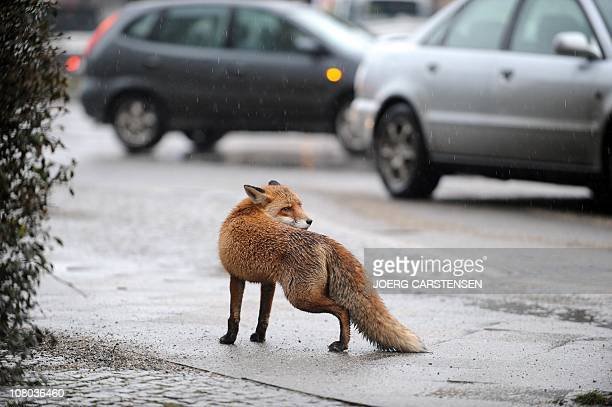 A fox walks over a street in Berlin's city center on January 14 2011 In many major cities such as Berlin Zurich or London foxes have discovered urban...