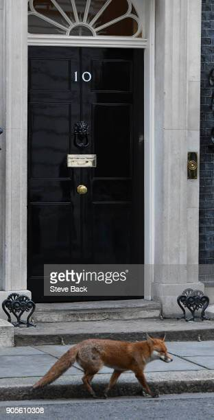 A fox walks past 10 Downing Street as the weekly cabinet meeting goes ahead last week British Prime Minister Theresa May put a stop to a vote on Fox...