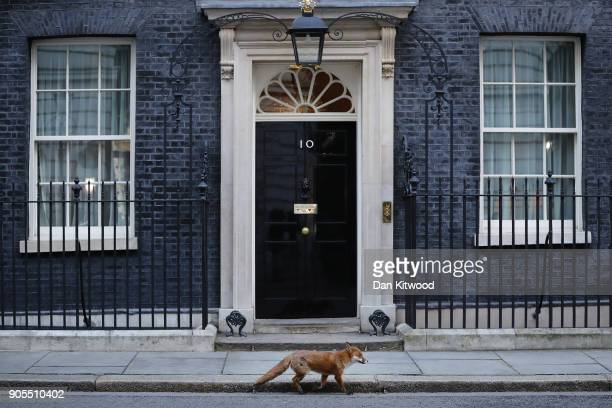 A fox walks past 10 Downing Street on January 16 2018 in London England