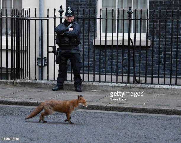 A fox walks past an armed police officer guarding Downing Street as the weekly cabinet meeting goes ahead last week British Prime Minister Theresa...