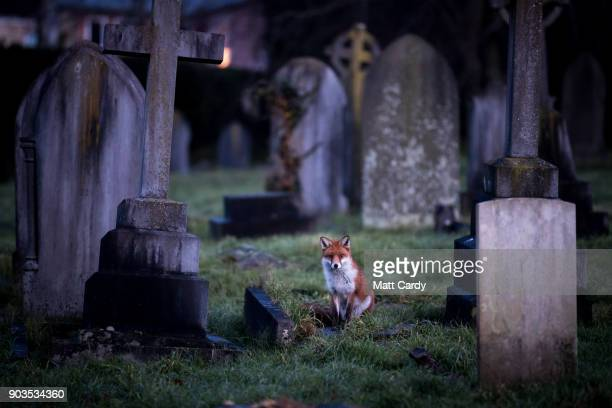 A fox walks through a cemetery at dusk on January 10 2018 in Bath England Although the number of foxes in the UK is actually on the decline according...