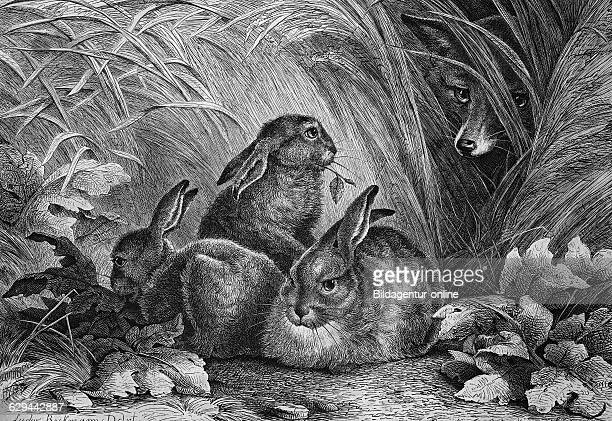 Fox watching hares historical engraving 1869