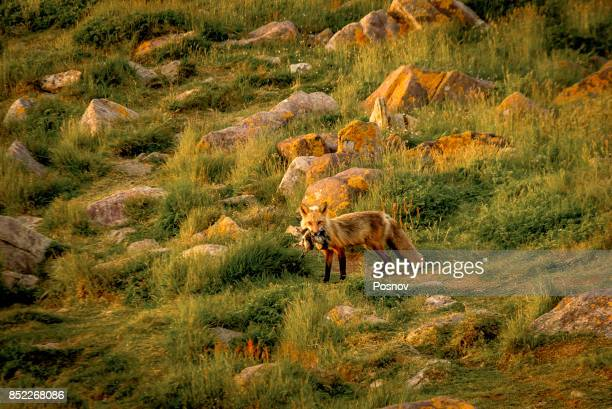 fox with a prey at cape st. mary's ecological reserve - mary fox stock-fotos und bilder