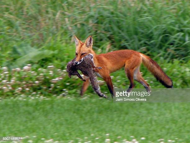Fox With Its Prey