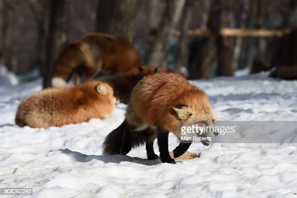 A foxes are seen in the snow at the Zao Fox Village on January 21 2018 in Shiroishi Japan