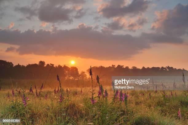 Foxglove (Digitalis purpurea) at sunrise on the edge of a marshland, Wesel, Lower Rhine, North Rhine-Westphalia, Germany