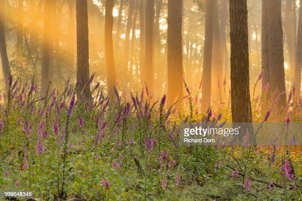 Foxglove (Digitalis purpurea) in a light-flooded coniferous forest, Wesel, Lower Rhine, North Rhine-Westphalia, Germany