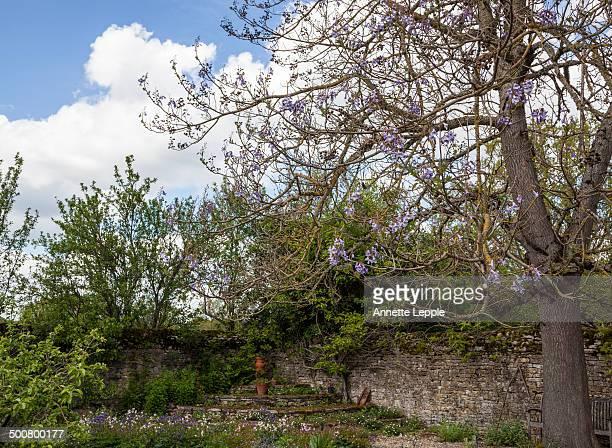 Foxglove tree Paulownia tomentosa in flower