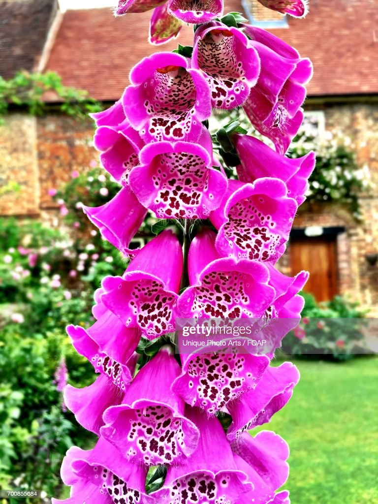 Foxgloves Blooming In Gardan High Res Stock Photo Getty Images