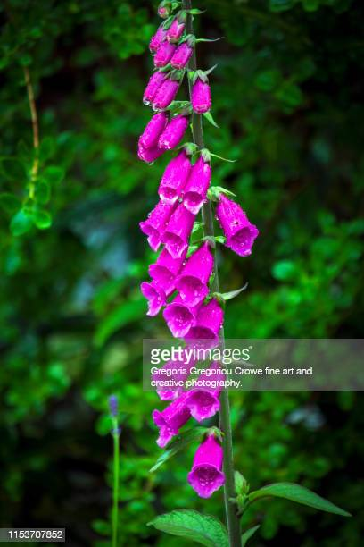 foxgloves flowers - gregoria gregoriou crowe fine art and creative photography fotografías e imágenes de stock