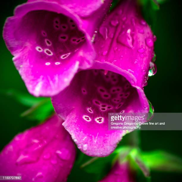 foxgloves flowers - gregoria gregoriou crowe fine art and creative photography. stock pictures, royalty-free photos & images