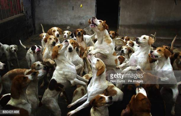 Foxhounds from the Lanark and Renfrew hunt near Glasgow get fed as Home Secretary Jack Straw is expected to announce that the Government will...