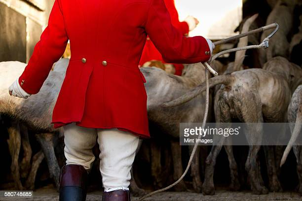 a foxhounds pack in a trailer ready for the hunt, with a huntsman in charge. - fox hunting stock pictures, royalty-free photos & images