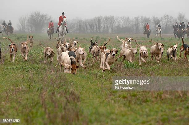 foxhunting - fox hunting stock pictures, royalty-free photos & images