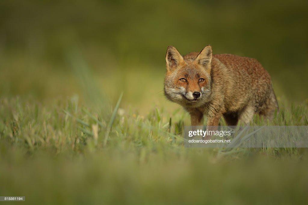 fox's secret : Foto stock