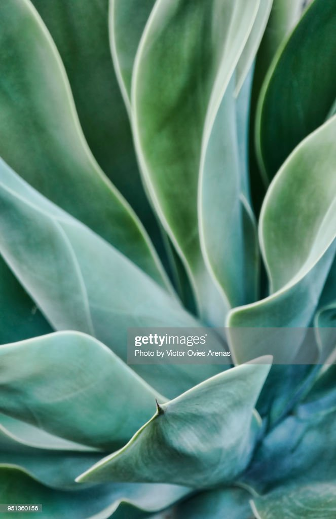 Foxtail agave. Close up. Lanzarote, Canary Islands, Spain : Stock Photo