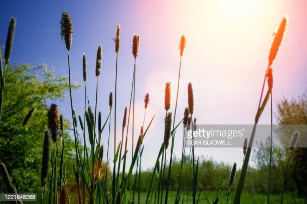 foxtail grass - grass stock pictures, royalty-free photos & images