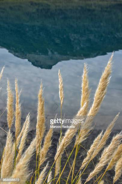 foxtails - radicella stock photos and pictures