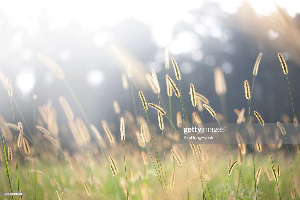 Foxtails under sunshine : Stock Photo