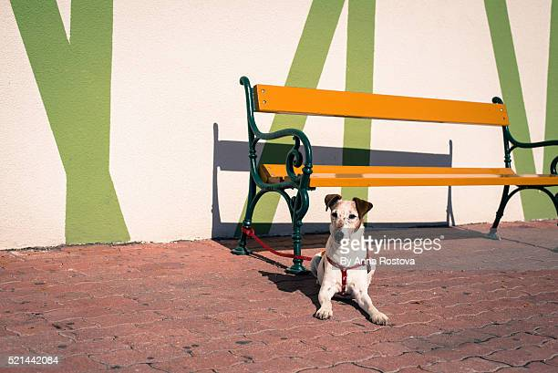 Fox-terrier dog on leash tied to bench lying down on pavement