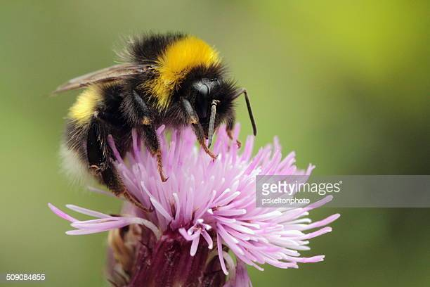 fozzie - bumblebee stock pictures, royalty-free photos & images