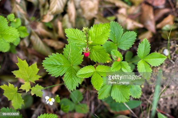Fragaria vesca, commonly called wild strawberry, woodland strawberry, Alpine strawberry, Carpathian Strawberry, European strawberry,