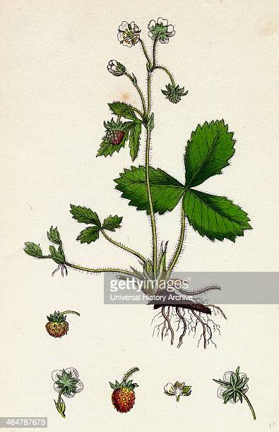 Fragaria vesca Wild Strawberry