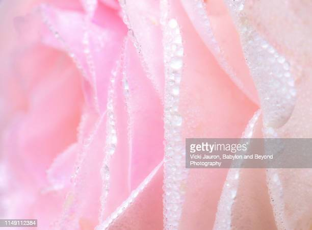 fragile and pure pink rose petals with raindrops and dew - girly wallpapers stock pictures, royalty-free photos & images