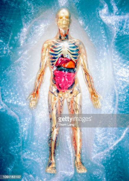 fragile man - anatomical model stock pictures, royalty-free photos & images